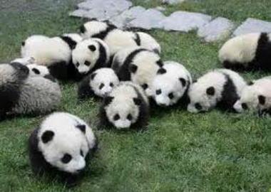 """パンダ模様のおにぎりはカワイイ … """"突進するパンダおにぎり""""の盛りつけが話題に (画像)"""