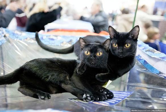 【画像】かわいい猫が大集合!!!!! モスクワで開催された国際キャットショー2014のまとめ