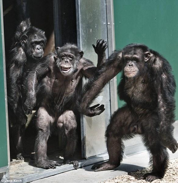 【画像あり】30年閉じ込められていたチンパンジーの解放の様子をご覧くださいwwwwwwww