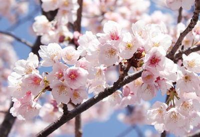 東京・横浜でソメイヨシノ開花 … 今週は桜の開花ラッシュ。満開は3月31日頃の見込み