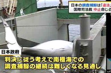 日本の調査捕鯨は「研究目的とは言えず違法」 国際司法裁が中止命じる … 南極海での調査捕鯨の継続は困難に