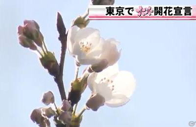 東京・岐阜・横浜と和歌山で桜が開花。来週にかけて西日本と東日本で開花が相次ぐと予想 … 東京の今シーズンの桜は3月31日が満開の予想み