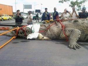 【画像あり】パナマ運河で捕獲された世界最大のワニ、デカすぎワロタwwwwwwwwwwwwwwwwwwwwwwwwwwwwwwwwwwwwwwwwwwww