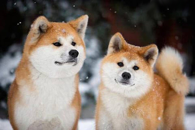Shiba Inu Cute Desktop Wallpaper 【海外の反応】 パンドラの憂鬱 海外「やっぱ日本の犬は可愛い!」 日本固有の犬種を纏めた写真に1万超のコメントが