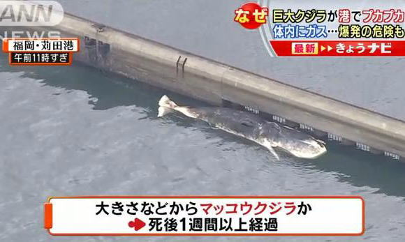 北九州空港沖で10m近いマッコウクジラの死骸が見つかる→ 船の航行に支障があり、苅田港内まで曳き1週間経過→ 爆発の危機