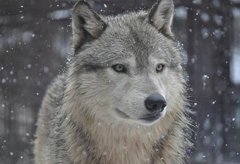 """""""放狼""""是か非か 農林産物の鳥獣食害深刻化 福岡・添田 住民提案"""
