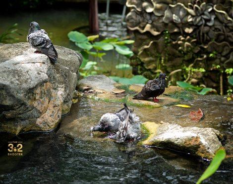 Pigeons' Bath