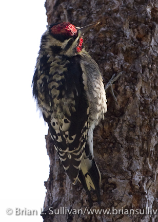 Yellow-bellied_Sapsucker_Carmel_Valley_CA_10-20-2010-10