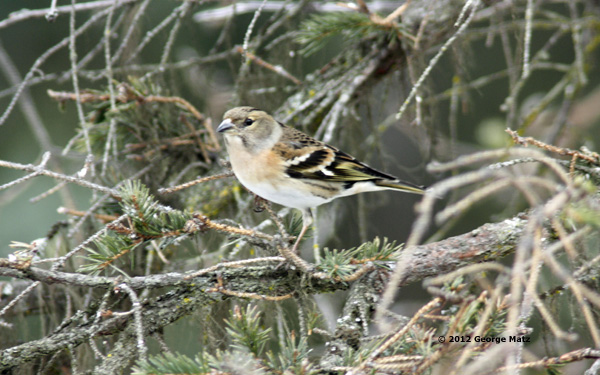 Brambling 1a Homer copy