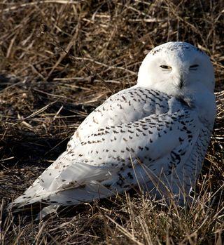 Snowy Owl NE