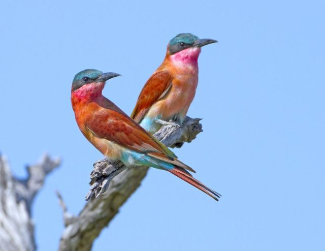 Southern carmine bee-eaters_colorized