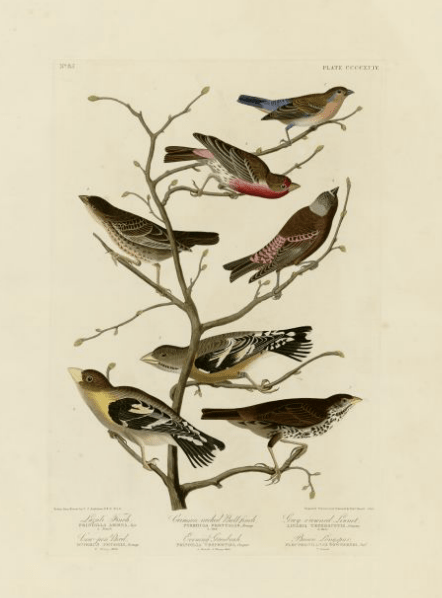 12-4-09-03 [Audubon print from University of Pittsburgh]