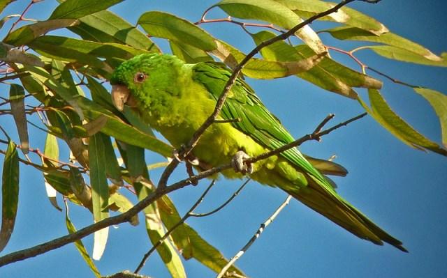 Green Parakeet-Jen Brumfield