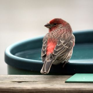 House_Finch_Magnus_Manske