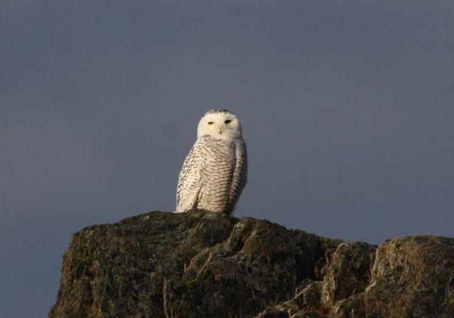 12.06 Snowy Owl, NL