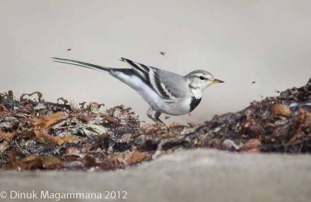 ABArare White Wagtail LA CO