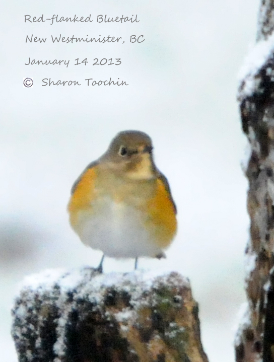 ABArare Bluetail RFBL-3-SharonToochin-14Jan2013