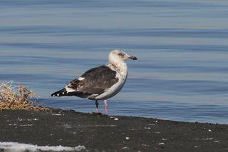 Slaty-backed Gull 1r (Walker Lake, NV) 1-18-13