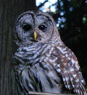 Barred Owl 2 - Ann Nightingale