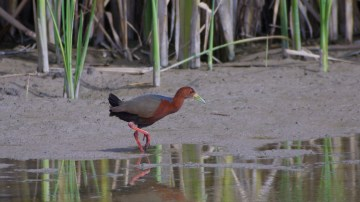 13-5-04-03p [Rufous-necked Wood-Rail]