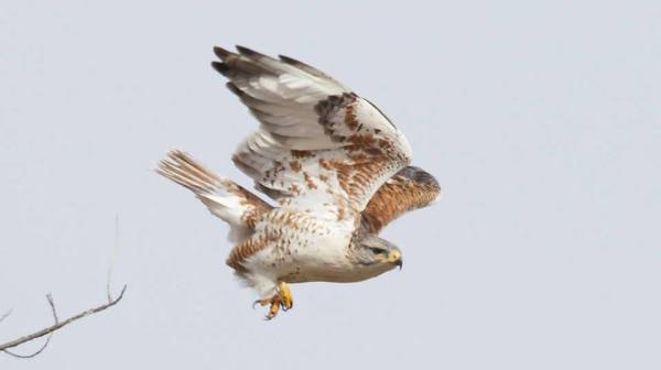 This Ferruginous Hawk is the third for Indiana, and one of two east of the Mississippi River this week. photo by Evan Speck