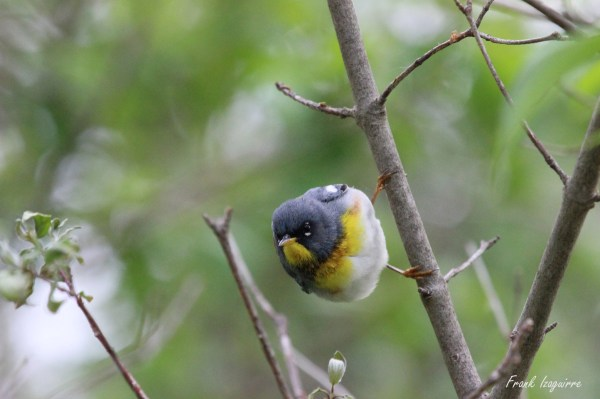 Northern Parula with sig1
