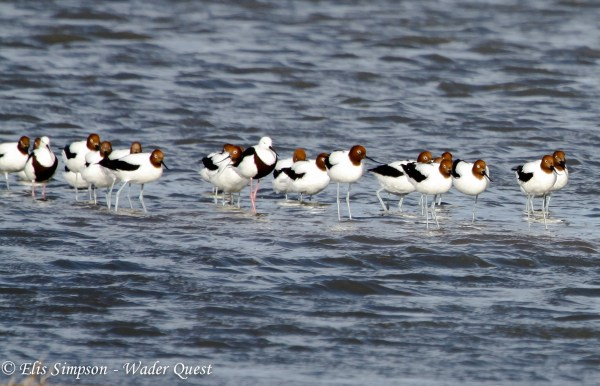 Red-necked Avocets and Banded Stilts, photo by Elis Simpson