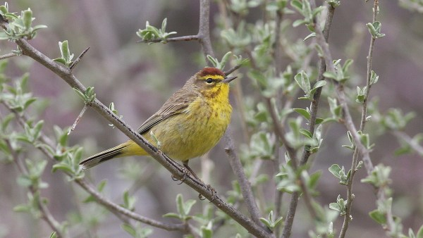 Palm Warbler, one of the first non-wintering warblers to arrive in my area, photo by Nate Swick