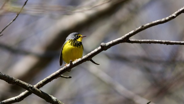 I don't always see Canad Warblers in the spring, but I consider myself fortunate to have come across a couple this year. Buncombe Co, NC, photo by Nate Swick