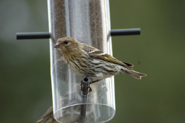 Out out your Nyjer feeders, it's going to be a Pine Siskin year. Photo: Philippe Bigue via Macauley Library