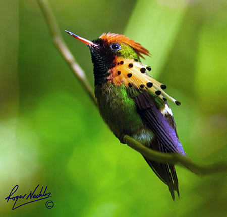 tufted-coquette-hummingbird
