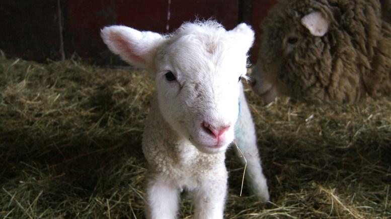 Pâques conditions d'abattage agneaux