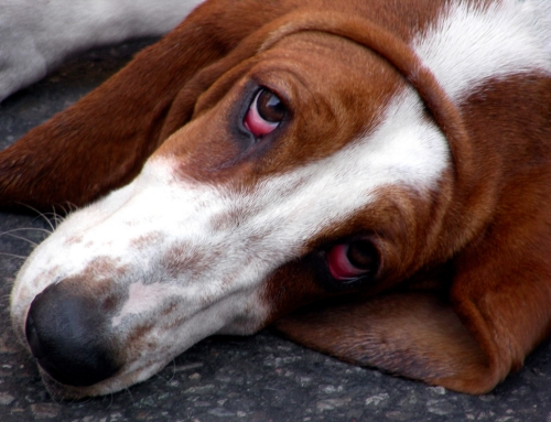 Boxer Dog Breed Bio From Alldogboots