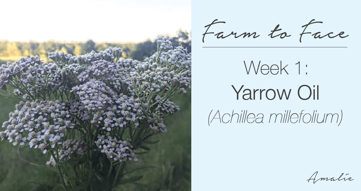 how to make yarrow oil | farm to face