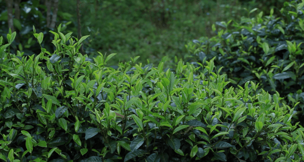 Tea Plants Growing in China
