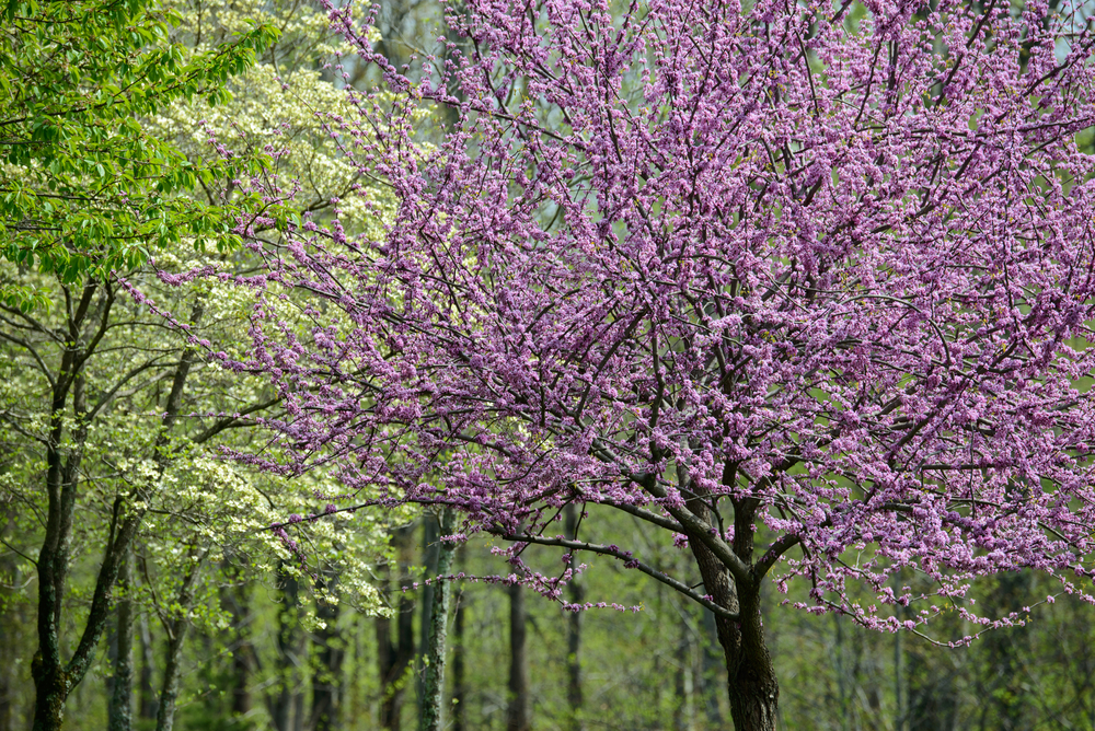 The Best Flowering Trees in the Spring in North Carolina Point of Blue - photo of spring