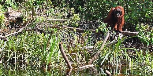 Peat swamp forest holds a crucial role as Orangutan habitat (photo by Daniel Murdiyarso/CIFOR)