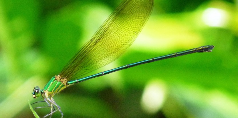 Biodiversity of forest plant and animal species (such as the clear-Winged Forest glory pictured) is inextricably linked to carbon and climate change. Kadavoor.