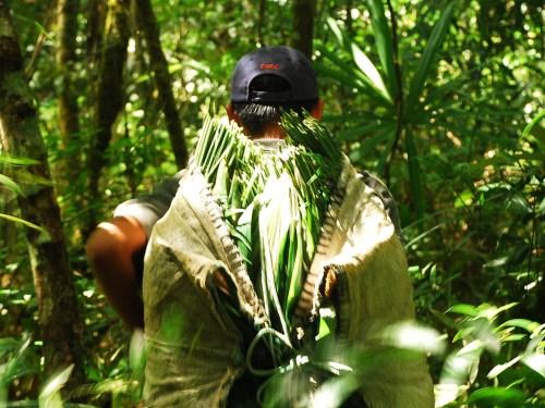 A Xatero (Xate palm harvester) in Maya Biosphere Reserve, Guatemala. Charlie Watson (USAID/Rainforest Alliance Forestry Enterprises).