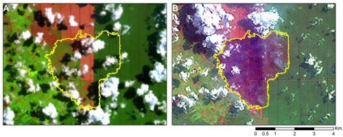 Figure 5. (A) A snapshot over an acacia plantation two months before the fires (22 April 2013). The grid-like rectangular pattern reveals an industrial plantation. The green areas reveal mature acacia trees. The brown areas reveal bare soils. The yellow outline shows the area that has burned between 17 and 25 June 2013. (B) The same area shortly after the fires (25 June 2013). The burned area (dark purple with yellow outline) encompasses areas that were previously bare soil and mature acacia trees.