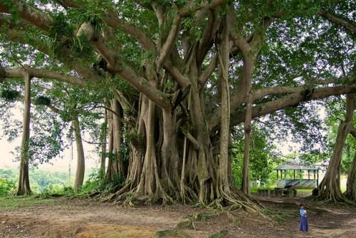 Investigadores examinaron los datos de más de 190 mil árboles de por lo menos 10 centímetros de diámetro en 120 zonas forestales de tierras bajas húmedas, de edad madura en América del Sur, Africa y Asia. Foto de: CIFOR/Terry Sunderland