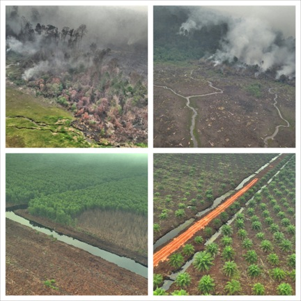 Figure 3. Fire in forests (top images), fire scar extending into planted forest (bottom left), newly established oil palms (bottom right). Giam Siak Kecil-Bukit Batu biosphere reserve, 29 August 2013.