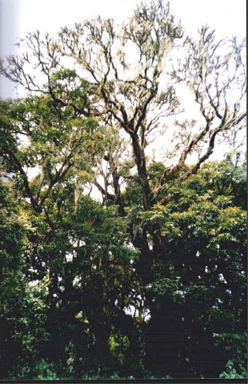 A photo showing crown death and senescence of a harvested Prunus africana tree in Bioko, Equatorial Guinea. Photo courtesy Terry Sunderland/CIFOR
