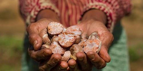 Seorang penduduk desa Lubuk Beringin memperlihatkan kacang dari pohon palem, pangan lokal desa tersebut. Photo: CIFOR