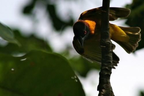 A wild bird in Cameroon. Terry Sunderland/CIFOR photo