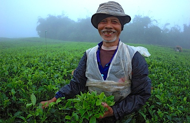 Un recolector de té en la aldea de Cianten, dentro de los límites del Parque Nacional Mount Halimun Salak en Java Occidental West Java, recoge hojas de té en una canasta.
