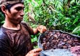 Serapio Condori Daza, recolector de castaña en la concesión de Felicitas Ramírez Surco en Madre de Dios, Perú. Los enormes frutos que contienen las castañas caen al suelo del bosque durante la estación de lluvias, de donde son recogidos por pequeños productores que viven en el bosque o cerca de él. Marco Simola / CIFOR
