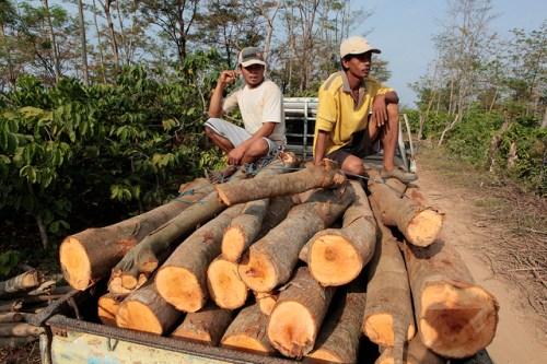 Transporte de troncos a aserraderos en Jepara, Java Central, Indonesia. Entre el 15-30 % de la madera comercializada en mercados mundiales es ilegal, según un informe reciente. Foto Dita Alangkara/CIFOR.