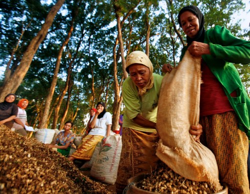 Women in Jepara's teak forest area harvest ground nuts, Central Java, Indonesia, June, 2009.