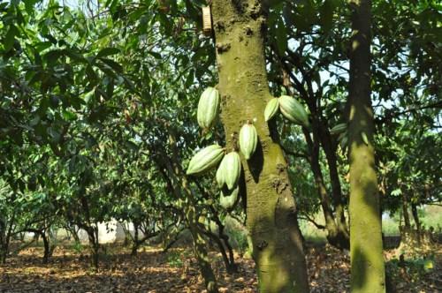 A cocoa plantation in Ghana. Rebecca Bollwitt photo